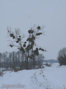 Végétation... dans envie d'évasion arbre-a-boules-225x300